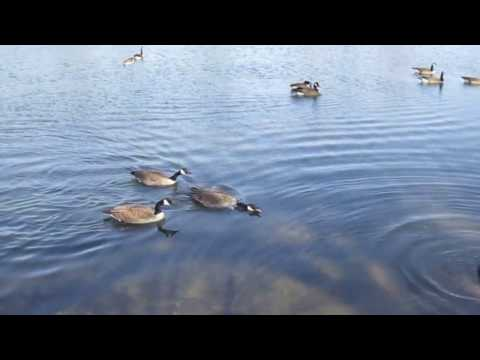 Canadian Geese Mating Season 2017