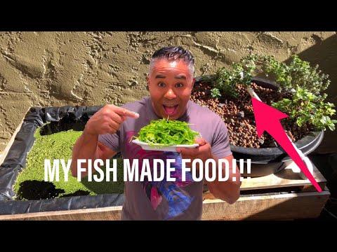 AQUAPONICS! MY FISH MADE FOOD!
