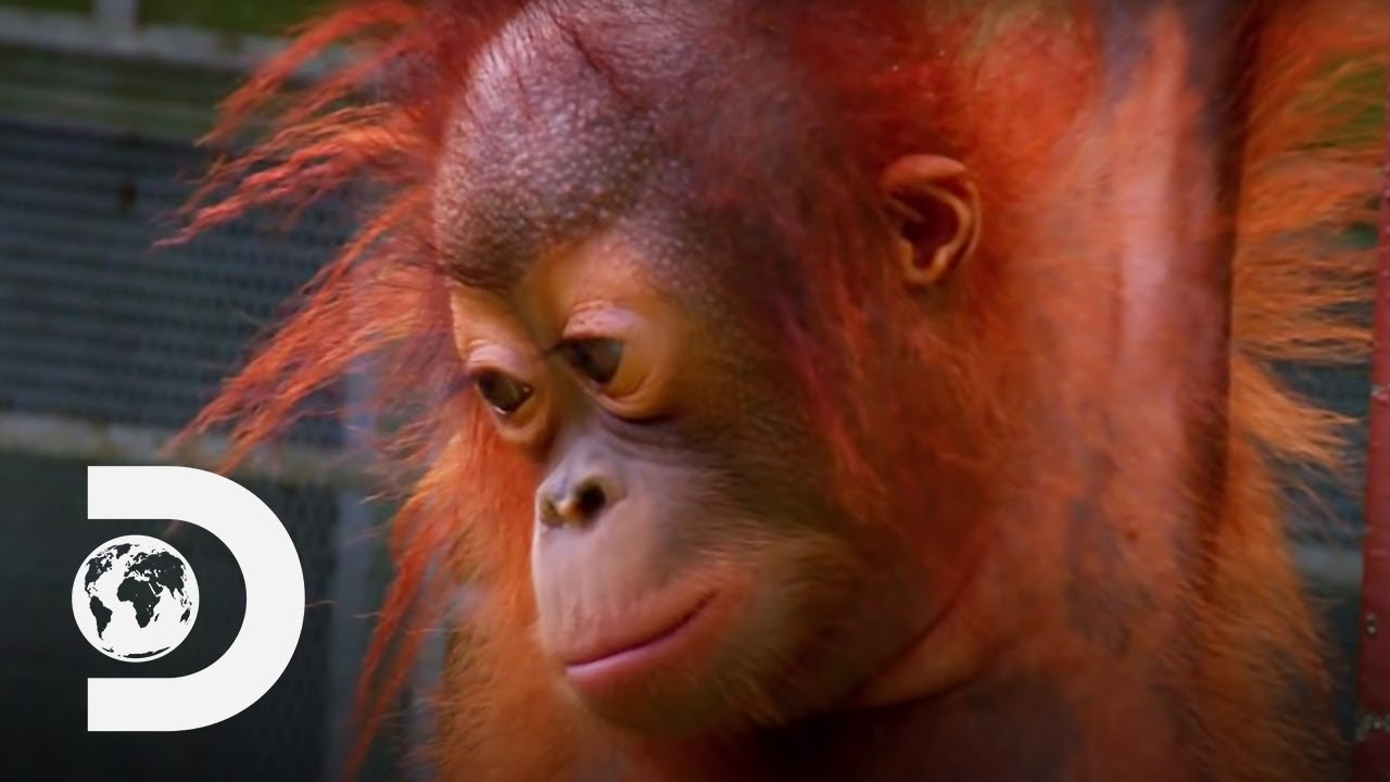 Baby Orangutan Bursts Into Tears On The Climbing Ropes   Meet The Orangutans