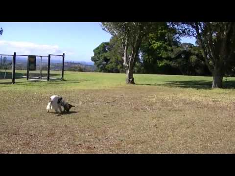 Penny the detection dog trained to find the endangered Eastern Bristlebird