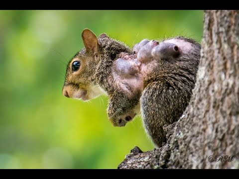 Squirrel With Warbles Lumps and Bumps From Bot Flies or Wolves