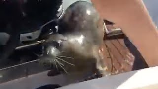 Seal Scrambles Onto Boat To Avoid Orcas On The Hunt (full version)