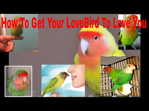 (HOW TO) GET YOUR LOVEBIRD TO LOVE YOU!!!!!!!!