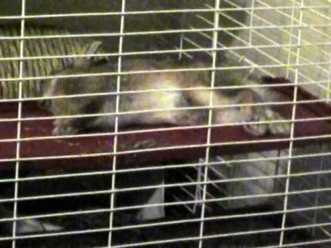 Cute bunny falling asleep and waking up (EXTREME CUTENESS!!!)