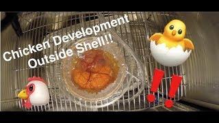 Chicken Embryo Development Time-lapse