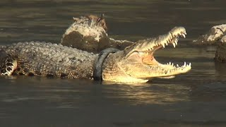 Race to save Indonesian croc stricken by tyre necklace