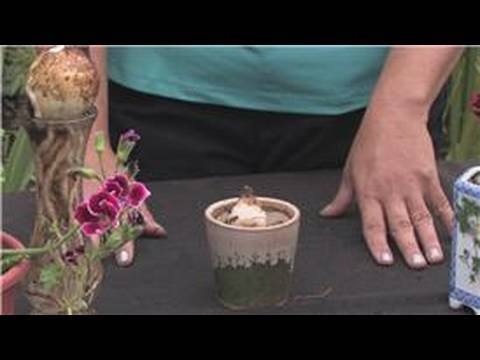 Flower Bulbs : How to Plant Bulbs in Water