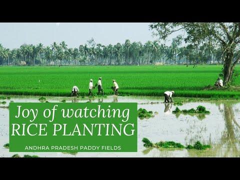 Rice planting, Farming, Andhra Pradesh