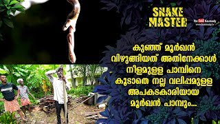 Wow! Small Cobra swallows a large snake, and a dangerous Cobra | Snakemaster EP 489 | Kaumudy TV