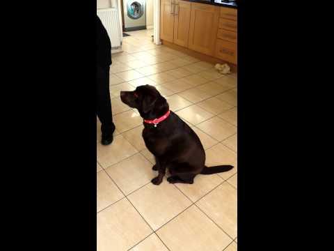 Funny dog eating cake