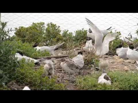Sandwich terns on Brownsea Island lagoon