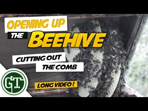 Opening Up the Beehive: Cutting out the comb   Beehive Cut Out