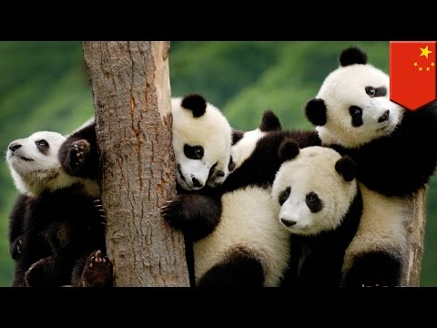 Pandas are no longer an endangered species but climate change threatens their survival - TomoNews