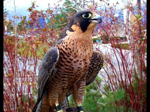 Falconry: Understanding the role of food.