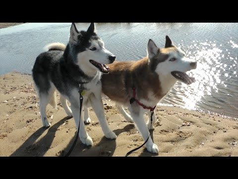 How to Off Leash Train Siberian Huskies