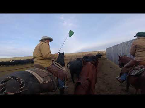 Pushing Cows To The 'Bud Box'