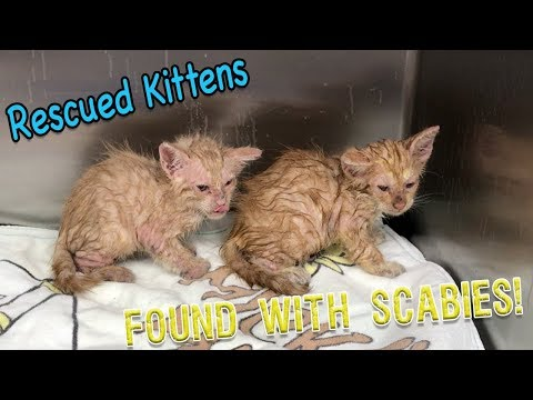 Abandon Kittens with Scabies!! Contagious to humans!!!
