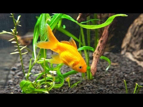 How to Clean Fish Tank Gravel | Aquarium Care