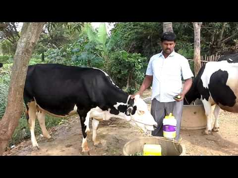 How to increase milk in dairy farming.
