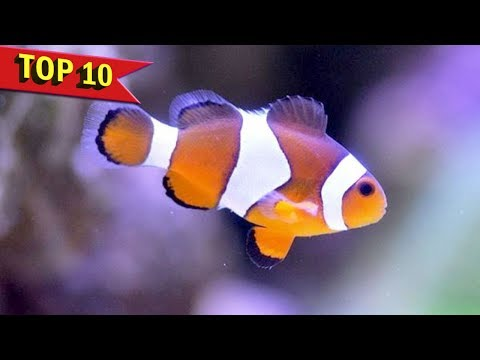 Top 10 Facts and Care Guide for Clownfish