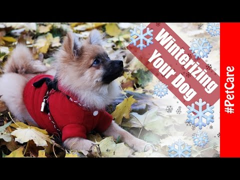 How to Prepare for Winter with Your Small Sized /Pomeranian/ Dog - Pet Care