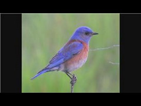 Bluebirds : How Do Bluebirds Protect Themselves?