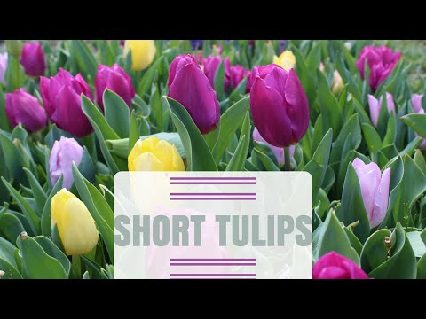 Why are my Tulips Short? Reasons for Short Tulip Stems