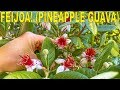 Download  Grow This For A Flowering Hedge That Gives You Tropical Tasting Fruit! MP3,3GP,MP4