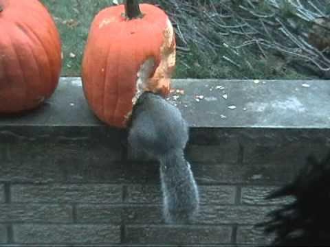 Squirrel Eats Pumpkin