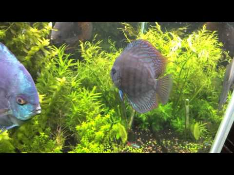 Long Tank Update - discus fighting due to a pair laying eggs :-(