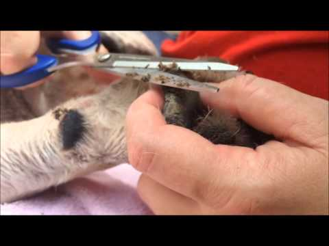 Removing Hyperkeratosis (Hairy Paw)