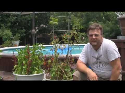 Dealing With Tomato Blight Part 1 of 2