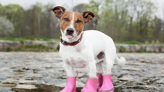 Dogs Wearing Boots for First Time Compilation 2013