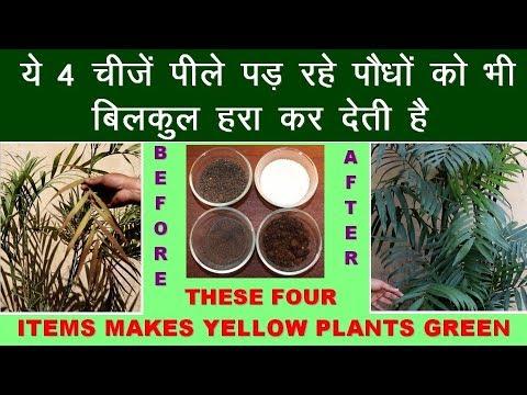 These 4 items Makes Yellow Plants Green || ये 4 चीजें पीले पौधों  को हरा कर देती है