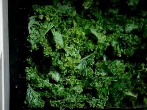 80 Dehydrating 28 Bunches of kale in Excalibur dehydrator bulk cooking prepping Pt1