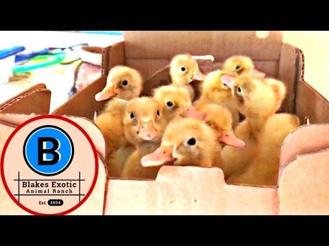 *NEW! Cute BABY DUCKLINGS care/talk!* | Blake'sExoticAnimalRanch