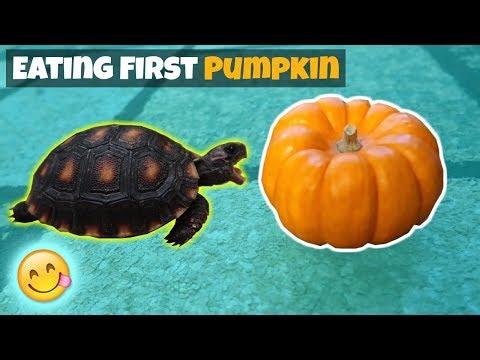 Baby Tortoise Eats His First Pumpkin