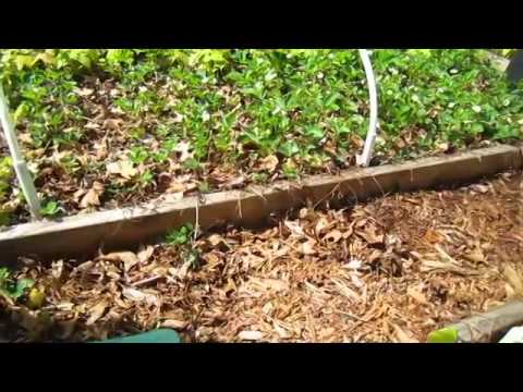 Strawberry Patch Clean Up - Wisconsin Garden Video Blog 509