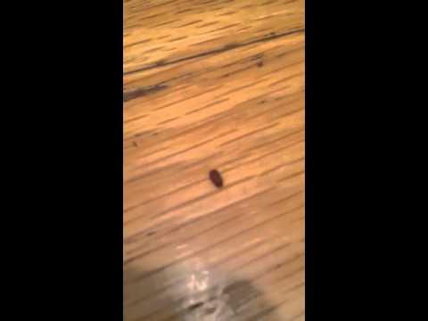 Small bugs (drugstore beetles)