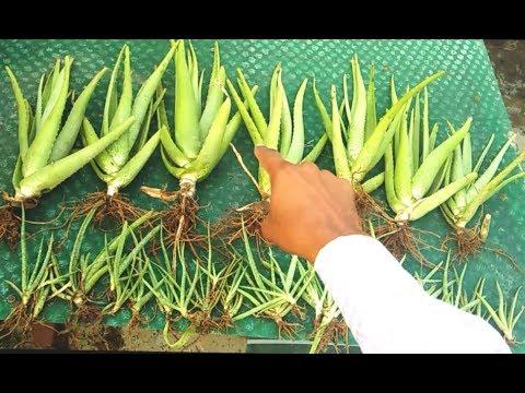 Repotting Big Aloe Vera. How to grow Aloe Vera