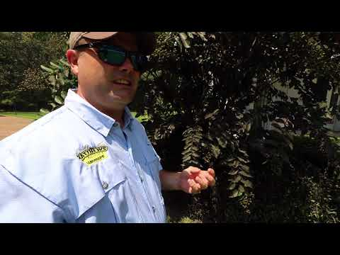 Treating Black Sooty Mold on Crape Myrtles