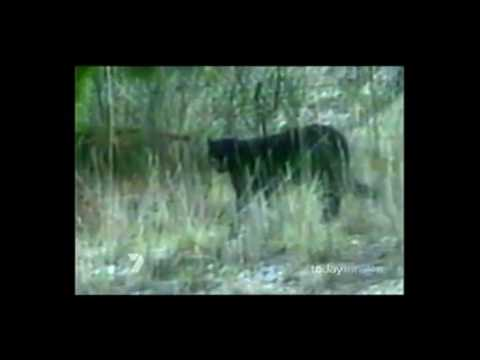 Big Cats in Australia - Mystery Black Panthers