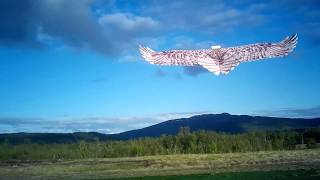 Dancing Wings Mini Eagle flying in Northern Norway