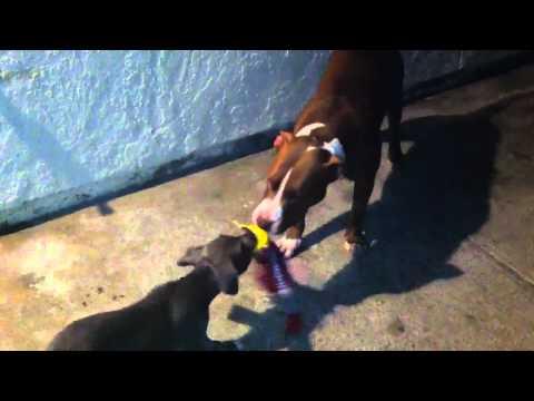 Grim vs ZeuS: pitbull tug of war