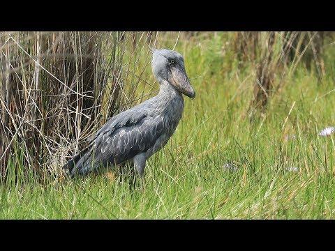 Uganda - Shoebill & Co in Mabamba Wetland