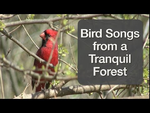 Bird Songs from a Tranquil Forest