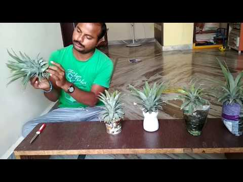 How to grow pineapple plant at home