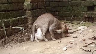 Animal Mating Hard