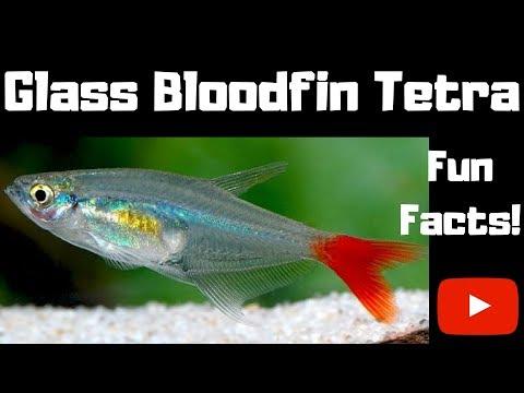 Glass Bloodfin Tetra Fun Facts