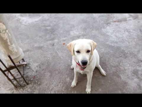 Dog training basics in Telugu 4   Teaching dog its name and attention